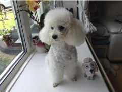 KC reg White Toy Poodle for Sale in the UK