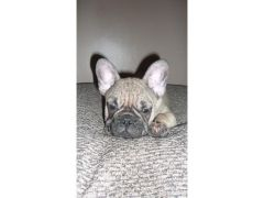 KC Registered french bulldog Puppy for Sale in the UK