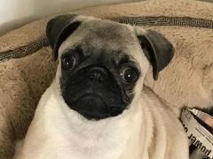 KC Registered Pug Male Ready Now for his Forever Home at UK Free Classified Ads