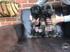 Kennel Club Straight Backed German Shepherds for Sale at UK Free Classified Ads
