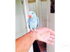 Lovely Baby Indian ringneck talking parrot for Sale in the UK