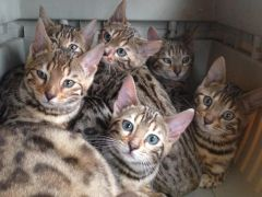 Lovely Bengal Kittens Pedigree Looking for New Home at UK Free Classified Ads