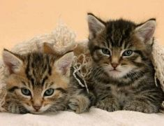 Lovely Bengal X Kittens for Sale UK Looking for New Home at UK Free Classified Ads