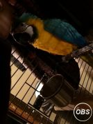 Lovely Blue  Gold Macaw for sale