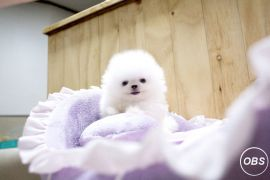Lovely ice white bear face teacup pomeranian puppies