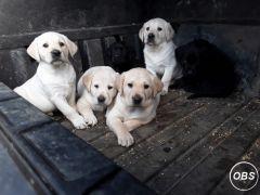 Lovely Labrador Retriever Puppies for a new home