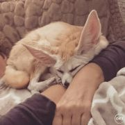 lovely male and female fennec fox babies