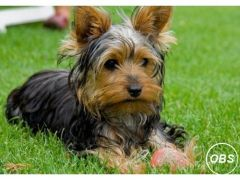 Lovely YORKSHIRE terrier puppy for Sale in the UK