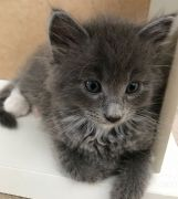 Maincoon Cross Kitten Birmingham