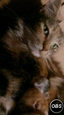 cat swollen mouth