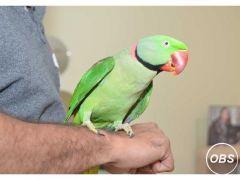 Male Alexandrine Talking Parrot for Sale in the UK
