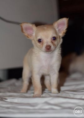 Male chihuahua for Sale in the UK