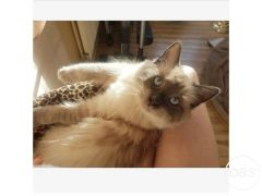 Male Ragdoll available for Sale in the UK