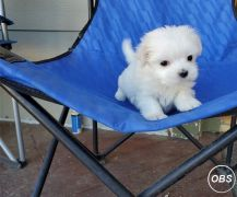 Maltese Puppies For Salewhatsapp me at: 447418348600