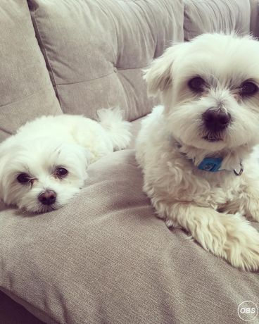 maltese puppies ready to go now