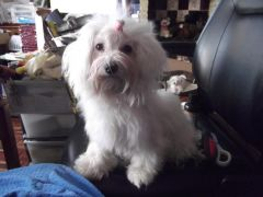 Maltese Puppy Healthy and Active Looking for New Home at UK Free Classified Ads