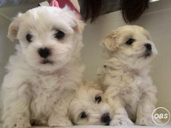 Maltese Terrier Boy for Sale at UK Free Classified Ads