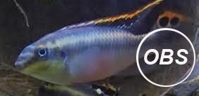 Mature Male Kribensis Pelvicachromis Pulcher for Sale at UK Free Ads