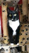 Missing Cat tuxedo cat