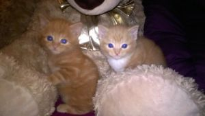 Mixer of Cute Fluffy Kittens for Sale Bedford UK Free Classified Ads