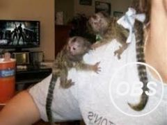 Nice Adorable Twin Pygmy Marmoset and Capuchin 07031956739