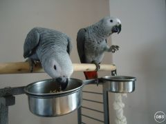 Olive Congo African Grey Parrots