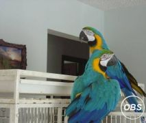 Outstanding  Blue And Gold Macaw