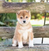 Outstanding Shiba Inu Puppies