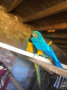 Pair Blue And Gold Macaw