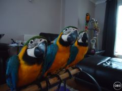 Pair  Macaw Parrots For Ready
