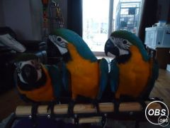 Pair Macaw Parrots For Ready Homes