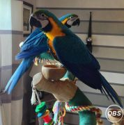 Pair Macaw Parrots For Sale