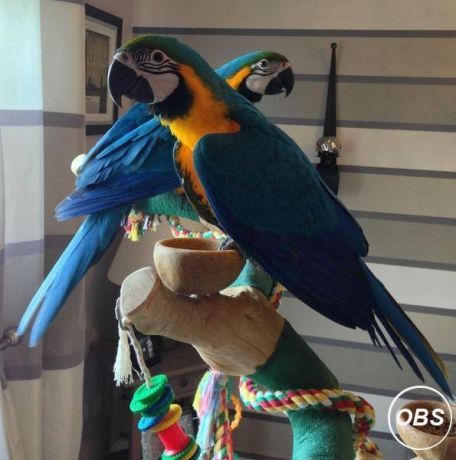 Pair Macaw Parrots For Sale