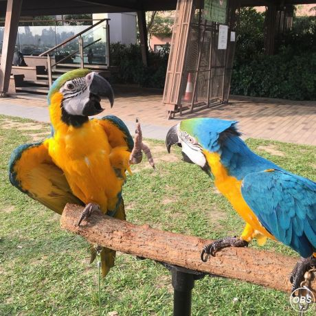 pairs macaws 12 months old