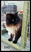 Pedigree Ragdoll Kittens for Sale Nottinghamshire UK Free Ads
