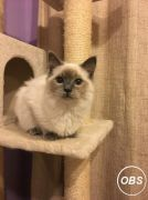 Pedigree Ragdoll Looking for New Home at UK Free Classified Ads
