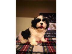 Pedigree shih tzu puppy for Sale in the UK