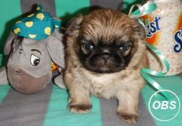 PEKINGESE PUPPIES FOR  REHOMING
