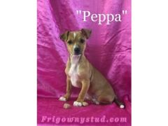 Peppa the Chussell Puppy for Sale in the UK