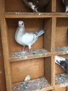 Pigeons doves birds pets Portuguese tumblers