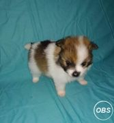 POMERANIAN PUPPIES FOR GOOD HOME