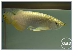 Premium quality arowana and fishwater stingray fish available now