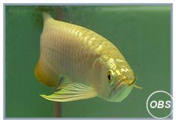 Premium quality arowana fish and freshwater stingray for sale