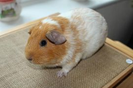 Pretty Female Guinea Pig Looking for New Home at UK Free Classified Ads