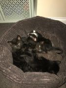 Pretty Kittens for Sale Peterborough UK Friendly and Lovely at UK Free Classified Ads