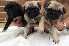 Pug Puppies Now Ready
