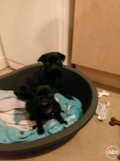 Pug Puppys for Sale at UK Free Classified Ads