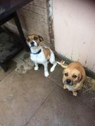 Puggle Puppies looking for New Home at UK Free Classified Ads