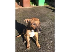 Puppy staff cross 3 months for Sale in the UK