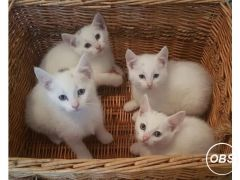 PURE WHITE MALE KITTEN for Sale in the UK